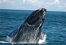 breaching-right-whale_neaq_225