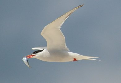common_tern_with_fish