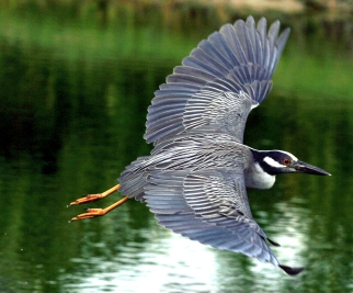 nycticorax_violaceus_-flying-8