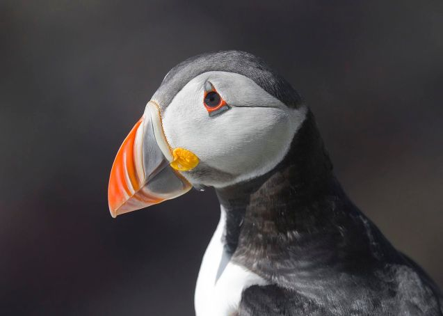 1280px-atlantic_puffin_fratercula_arctica